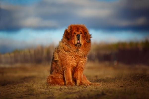 most dangerous dog breed in the world