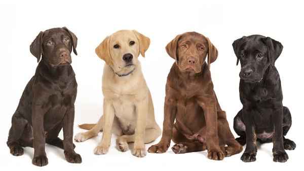 good dogs to breed