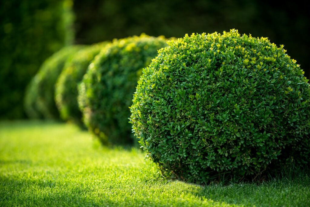 Backyard landscaping with shaped shrubs